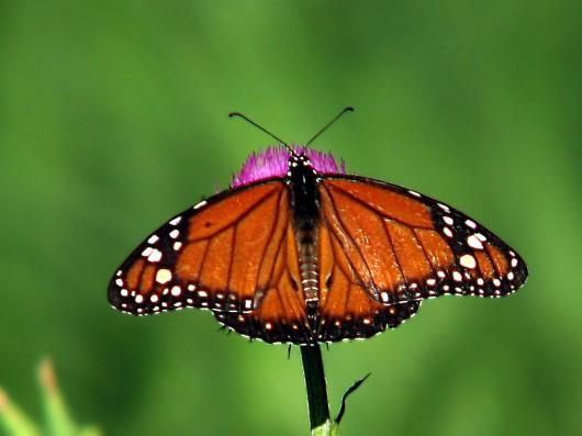 Buenas noches Santuario-mariposa-monarca-1-530x397