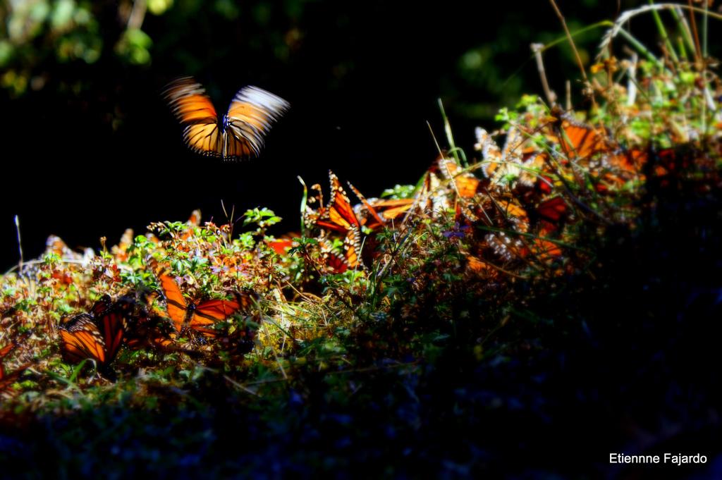 santuario-mariposa-monarca-2