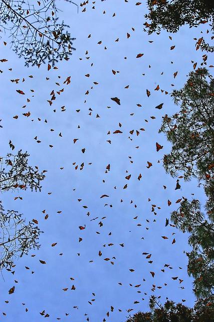 santuario-mariposa-monarca-4