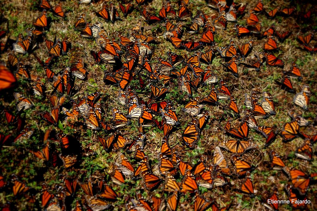 santuario-mariposa-monarca-5