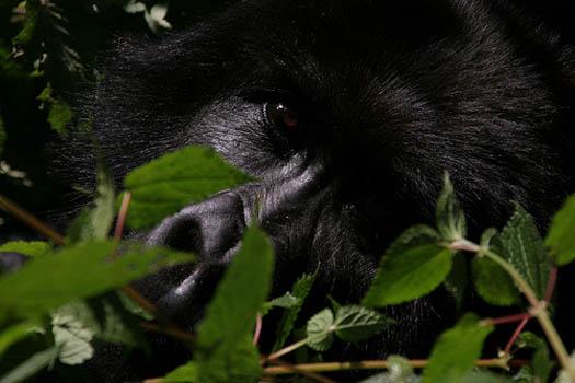 Gorilas Dian Fossey
