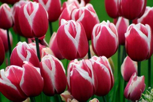 Festival de Tulipanes del Valle Skagit 2