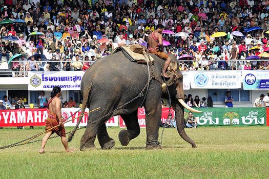 surin elephant